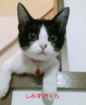 sakura kaidanのコピー.jpg